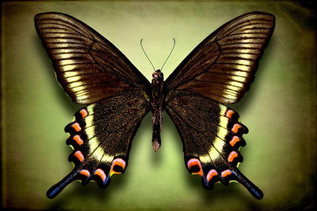 Papilio Maackii Maackii (underside)