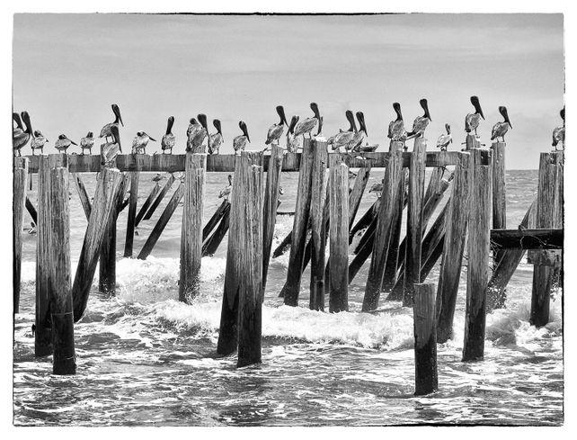 Pelicans hangout
