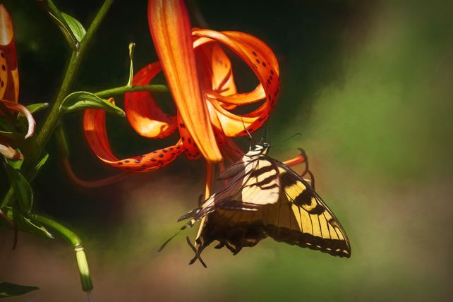 Swallowtail on Tiger Lilies