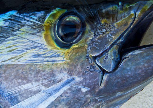 Guadalupe Island Yellowfin Tuna Baja Mexico