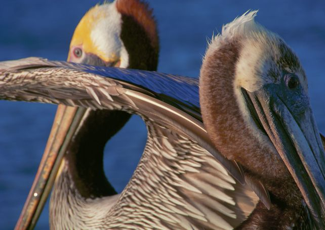 Two Pelicans Hand Numbered Edition
