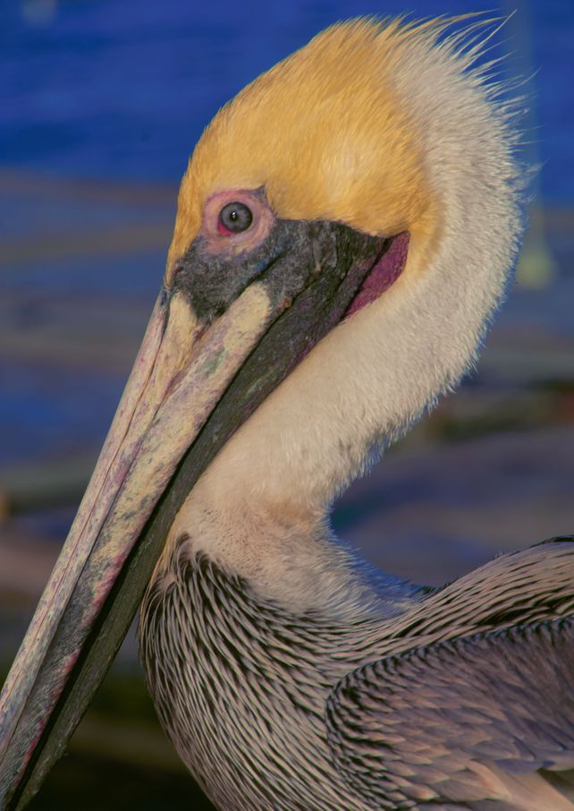 Pelican Portrait Hand Numbered Edition