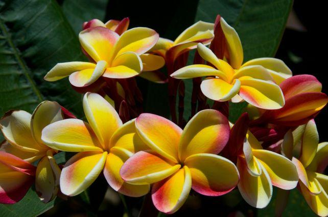 Hawiian Plumeria 3  Ltd.Edition Fine Art Photo