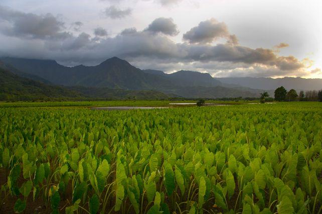 Hanalei Valley Toro Field   Hawaii Kauai