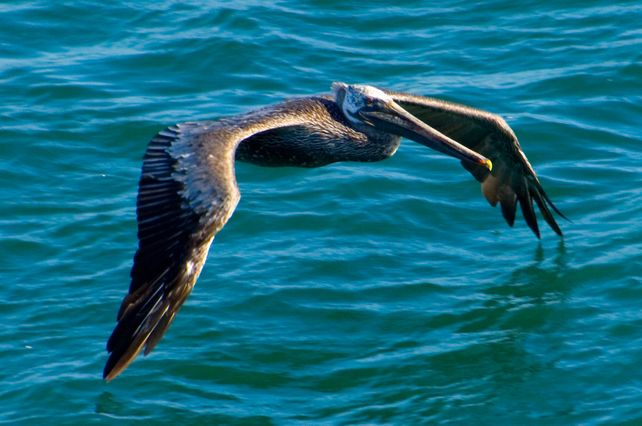 Brown Pelican in Flight BIG Art Photo Hawaii