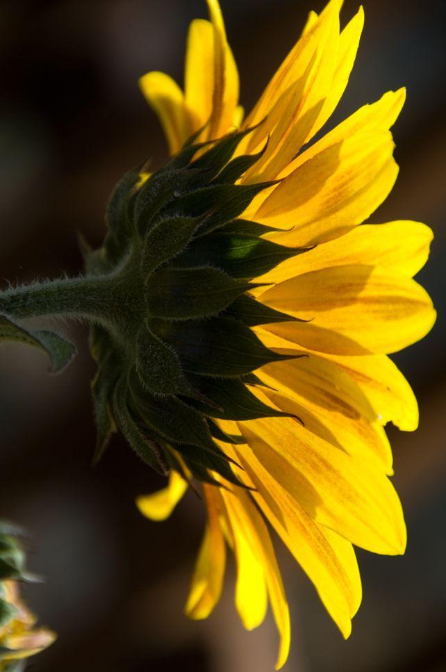 Backlit Sunflower  Ltd.Edition Fine Art Photo