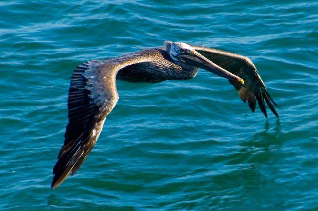 Brown Pelican in Flight  HUGE Art Photo Hawaii