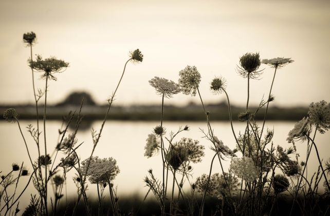 Queen Anne's Lace near the Shore