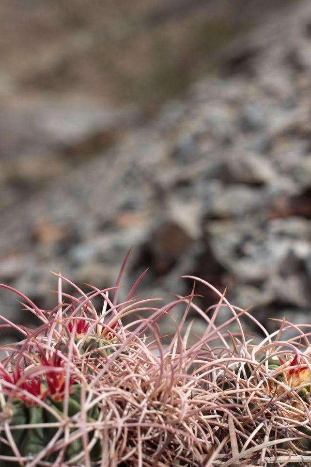 Cottontop Cactus #5