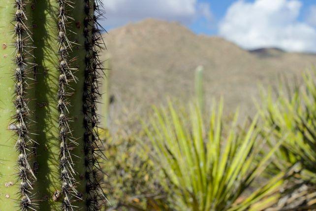 Tortolita Mountains Saguaro Profile
