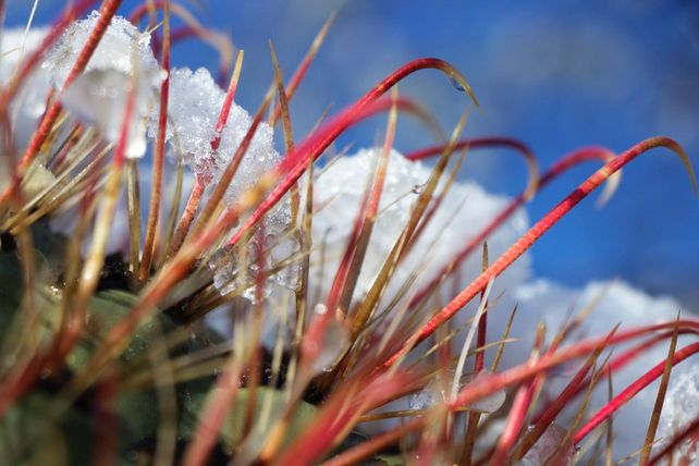 Melting Snow on Fishhook Cactus #3