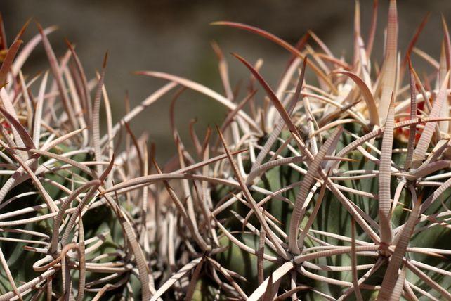 Cottontop Cactus #1