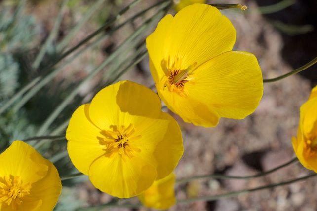 Death Valley Gold Poppy
