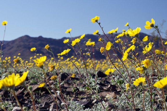 Desert Sunflower Afternoon