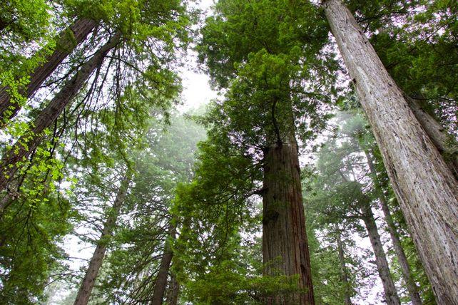 Ascending Redwoods