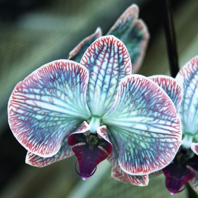 FESTIVE ORCHID