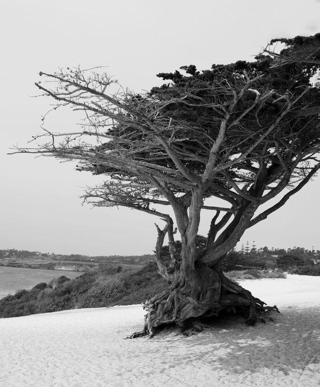 """Monterey Cypress"" Aka ( Pebble Beach Cypress Tree"