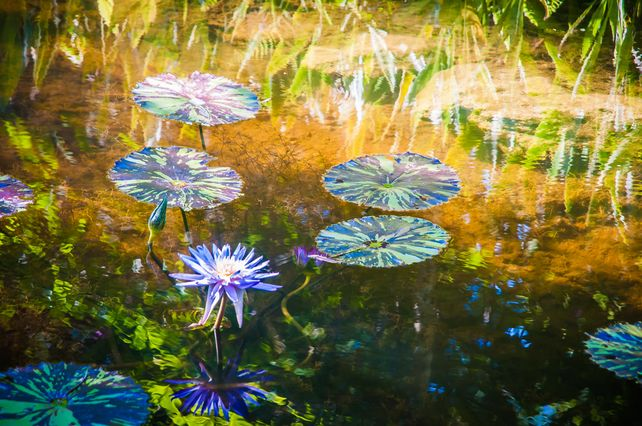 Water Lilies #1