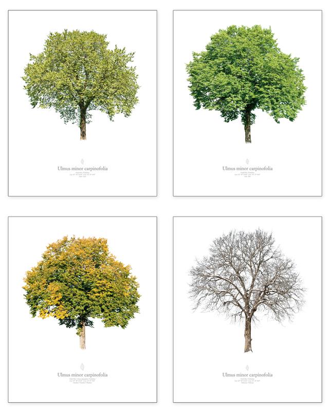 Ulmus minor | seasons series (4 pictures)