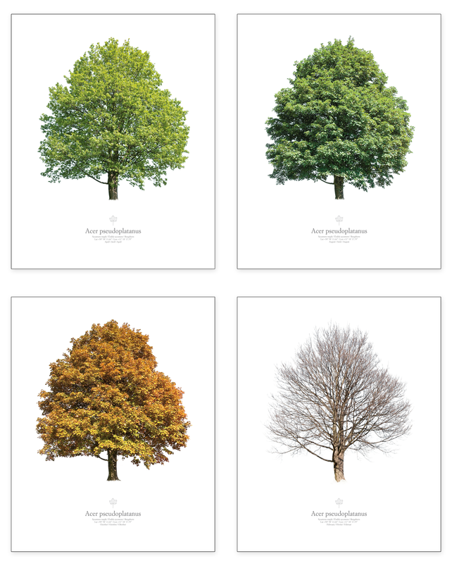 Acer pseudoplatanus | season series (4 pictures)