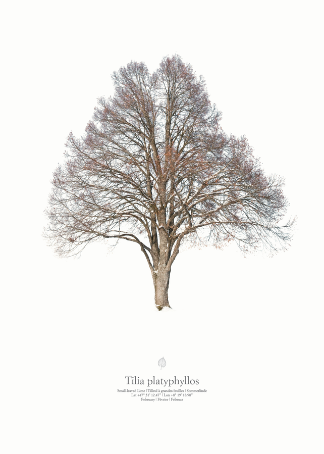 Tilia platyphyllos | winter portrait