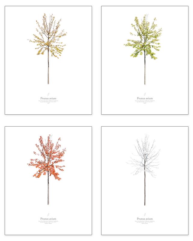Prunus avium | season series (4 pictures)