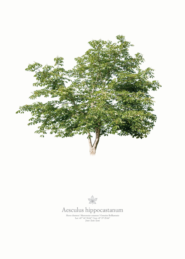 Aesculus hippocastanum | single tree portrait