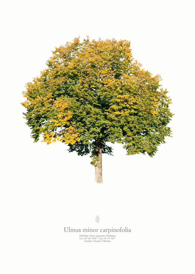 Ulmus minor carpinifolia | autumn portrait