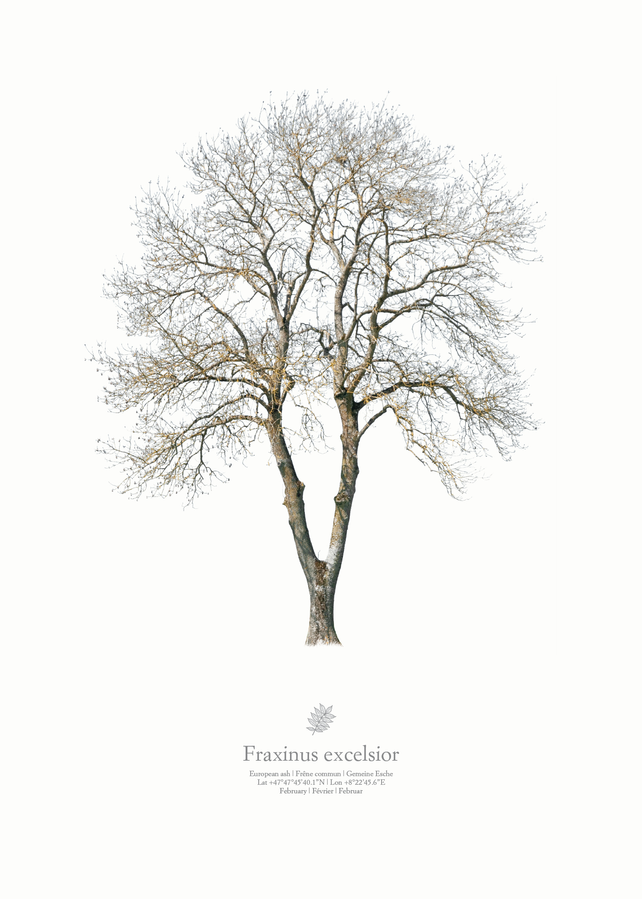 Fraxinus excelsior | winter portrait