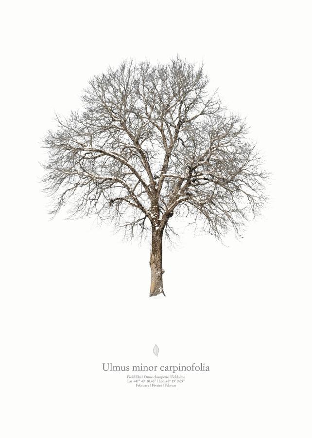 Ulmus minor carpinifolia | winter portrait