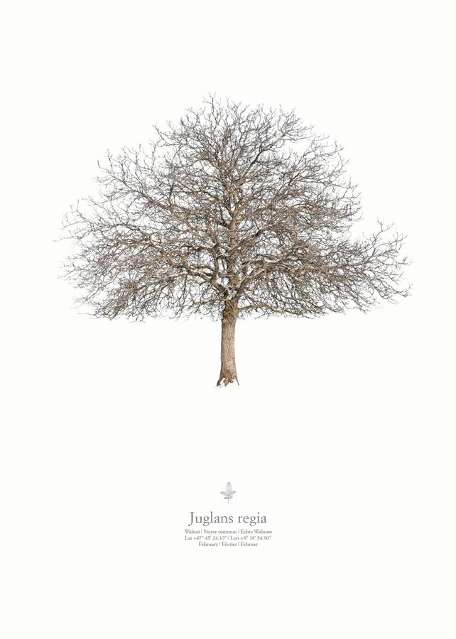 Juglans regia | winter portrait