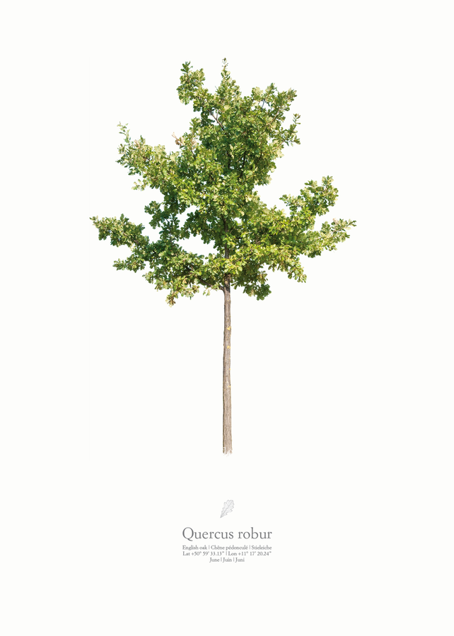 Quercus robur | summer portrait