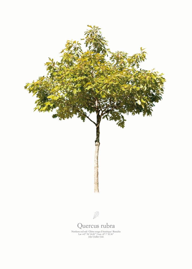 Quercus rubra | summer portrait