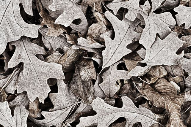 'Oak Leaves' by Mike Grandmaison