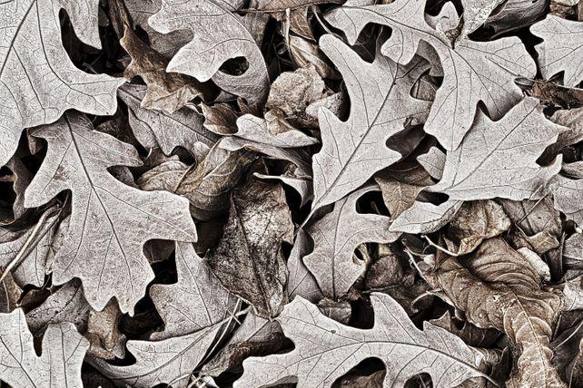 'Oak Leaves' by Mike Grandmaison