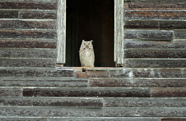 'Great Horned Owl' by Mike Grandmaison