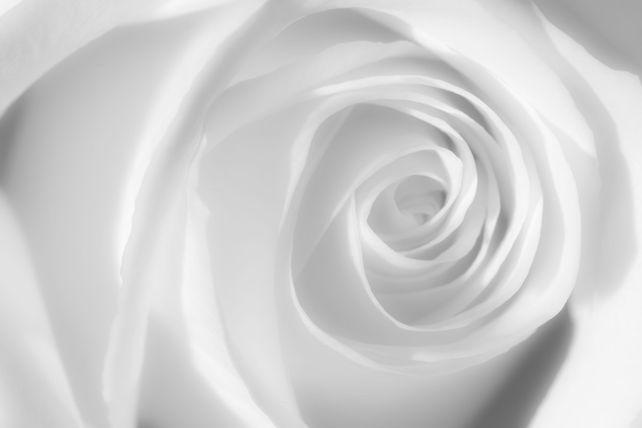 'White Rose' by Mike Grandmaison