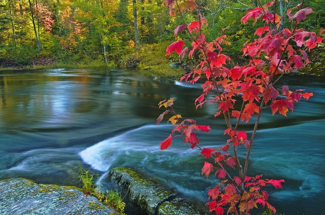 'Red Maple, Dryberry Creek' by Mike Grandmaison