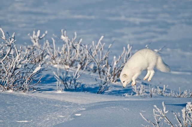 'Leaping Arctic Fox' by Mike Grandmaison