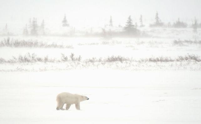 'Polar Bear in Storm' by Mike Grandmaison