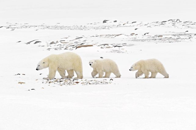 'Polar Bears Walking' by Mike Grandmaison