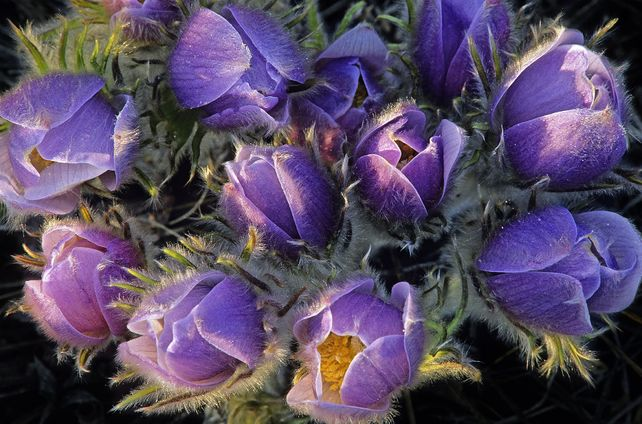 'Crocuses' by Mike Grandmaison