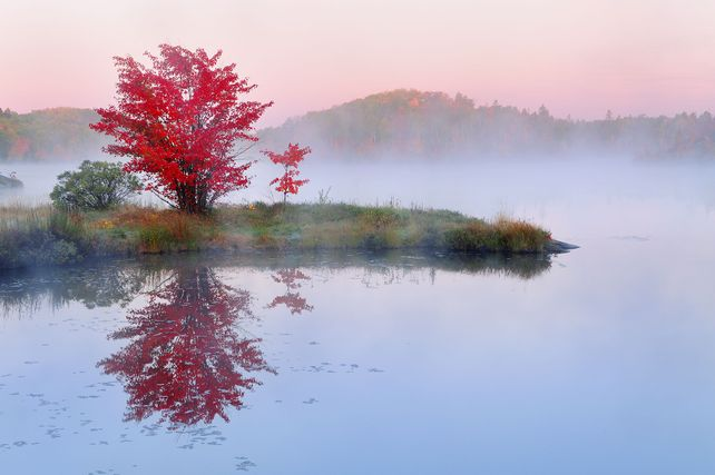 'The Red Maple' by Mike Grandmaison