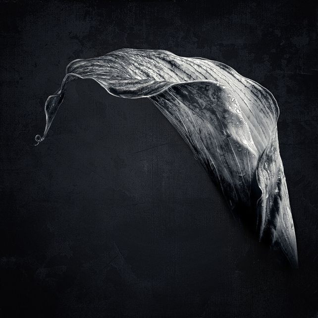 Lily Noir