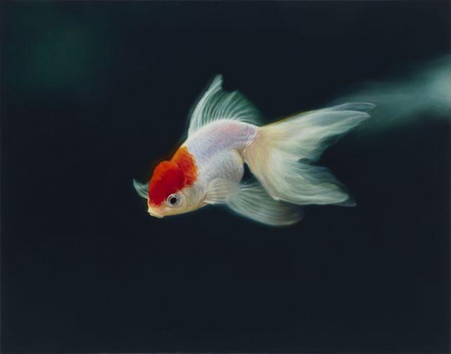 Goldfish(Oranda)