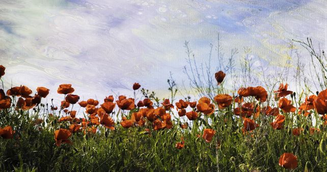 Poppies and the blue sky