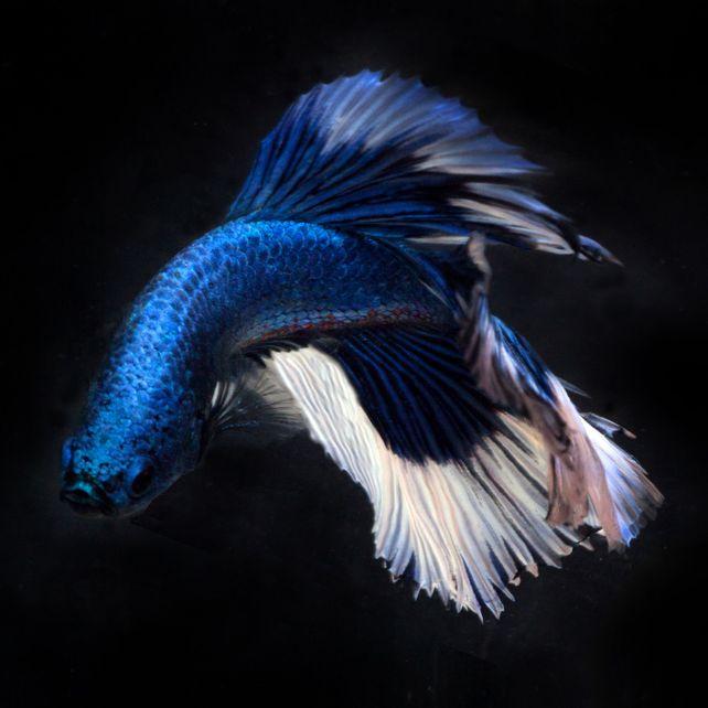 Beta Blue 22