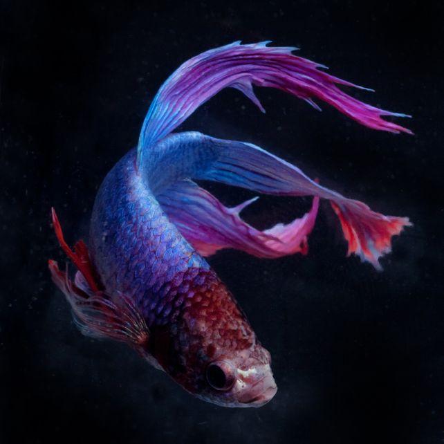 Purple Blue Beta 4