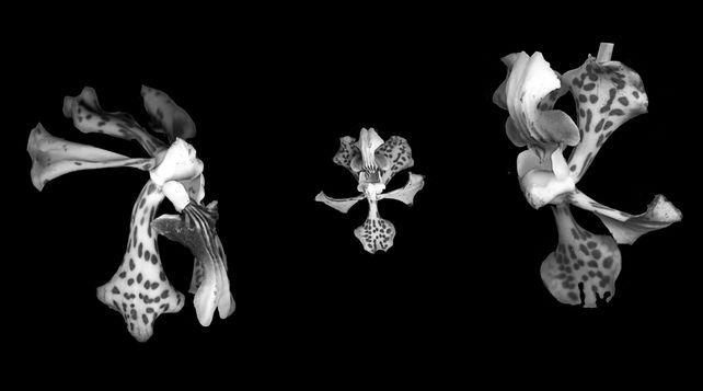 Orchid Dance III