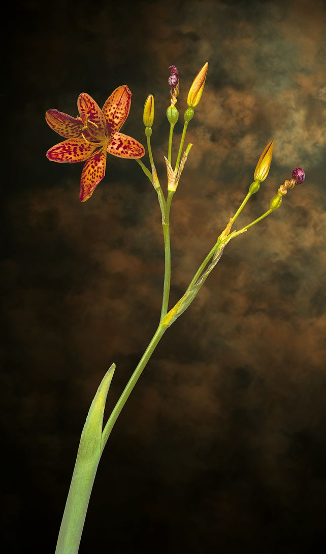 The Gift, leopard flower